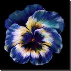 Blue Pansy Flower Wrapped Canvas Giclee Print Wall Art