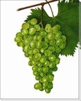 Botanical Grapes Wrapped Canvas Giclee Print Wall Art