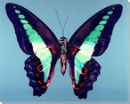 Bright Colored Butterfly Study Wrapped Canvas Giclee Print