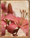 Bright Pink Lilies Wrapped Canvas Giclee Print Wall Art