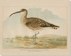 Bristle-Thighed Curlew Bird Wrapped Canvas Giclee Print Wall Art