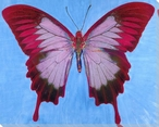 Burgundy and Pink Butterfly Study Wrapped Canvas Giclee Print
