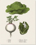Cabbage Turnip Broccoli Wrapped Canvas Giclee Print Wall Art