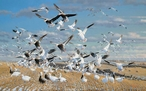 Canadian Gold Snow Geese Canvas Giclee Art Print Wall Art