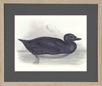 Common Scoter Sea Duck Matted and Framed Art Print Wall Art