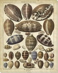 Cowrie Shells I Wrapped Canvas Giclee Print Wall Art