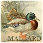 Custom Just Ducky Mallard Ducks Vintage Style Metal Sign