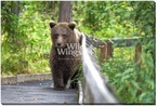 Grizzly Trail Bear Walking Wrapped Canvas Giclee Print Wall Art
