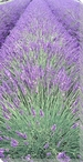 Lavender Row Center Wrapped Canvas Giclee Print Wall Art