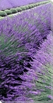 Lavender Row Left Wrapped Canvas Giclee Print Wall Art