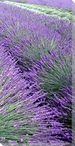 Lavender Row Right Wrapped Canvas Giclee Print Wall Art