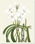 Les Fleurs Flower Blanches III Wrapped Canvas Giclee Print