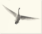 Lone Flying Swan Bird Wrapped Canvas Giclee Art Print Wall Art