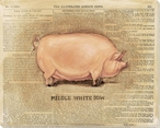 Middle White Sow Pig Wrapped Canvas Giclee Print Wall Art