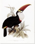Monograph of the Ramphastidae Toucan Bird Wrapped Canvas Giclee Print