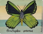 Ornithoptera Priamus Butterfly Wrapped Canvas Giclee Print