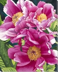 Peonies 2 Flowers Wrapped Canvas Giclee Print Wall Art
