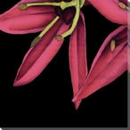 Pink Graphic Lily Flower BL Wrapped Canvas Giclee Print Wall Art