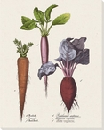 Radish Carrot Red Beet Wrapped Canvas Giclee Print Wall Art
