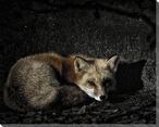 Resting Red Fox Wrapped Canvas Giclee Art Print Wall Art