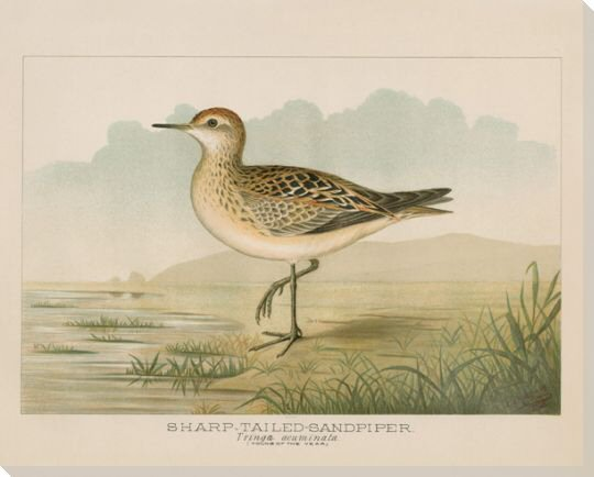 Sharp Tailed Sandpiper Bird Wrapped Canvas Giclee Print Wall Art ...