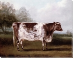 Short Horn Cow in Grounds of a Country House Wrapped Canvas Print