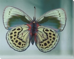 Soft Colored Butterfly Study Wrapped Canvas Giclee Print Wall Art
