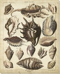 Spider Conch Shells Wrapped Canvas Giclee Print Wall Art