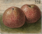 Sunburst Speckled Apples No. 339 Wrapped Canvas Giclee Print