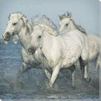 Three Camargue Horses Wrapped Canvas Giclee Art Print Wall Art