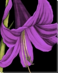 Violet Graphic Lily Flower III Wrapped Canvas Giclee Print