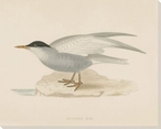 Whiskered Tern Bird Wrapped Canvas Giclee Print Wall Art