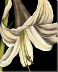 White Graphic Lily Flower III Wrapped Canvas Giclee Print Wall Art