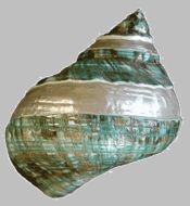 Green Pearl Turbo Seashell