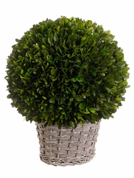 "12.6"" Preserved Boxwood Ball in Wicker Style Basket"