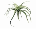 "13"" Large Tillandsia Artificial Cactus Plants - Set of 12 - Non Potted"