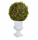 18� Mohlenbechia Ball Topiary in White Urn -