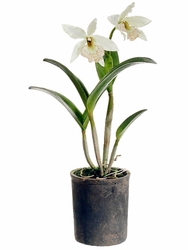 """22"""" Artificial Cattleya Orchid Plant in Clay Pot"""