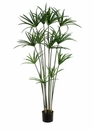5' Papyrus Plant with 12 Leaves in Pot - Set of 2
