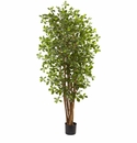 6� Black Olive Silk Tree