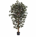 6� Capensia Ficus Tree x 3 w/1008 Lvs