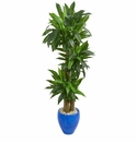 6� Cornstalk Dracaena Artificial Plant in Blue Planter (Real Touch) -