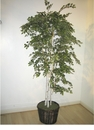 7' SHERMAN BIRCH SILK TREE IN PLANTER