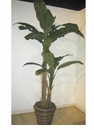 7' SILK BANANA TREE IN RESIN CONTAINER