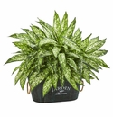 Aglonema Artificial Plant in Wood Planter -