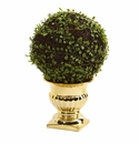 Mohlenbechia Ball Topiary in Gold Urn -