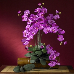 "31"" Phalaenopsis Stem (Set of 12 Stems - non Potted) - Orchid"