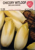 Endive Witloof Belgian