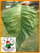 Pipe Tobacco Seed Package