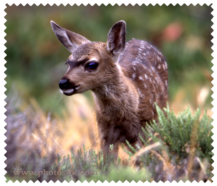 Black Tail Fawn